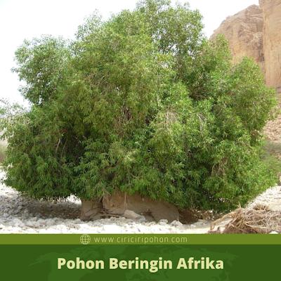 Ciri Ciri Pohon Beringin Afrika
