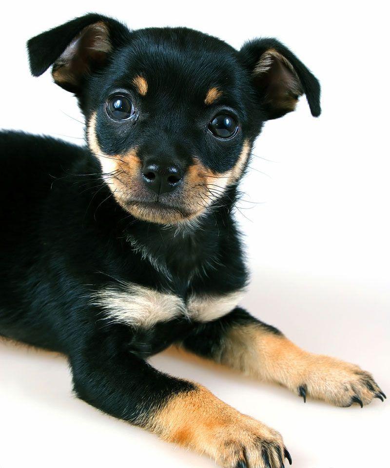 pin miniature pinscher pup - photo #1