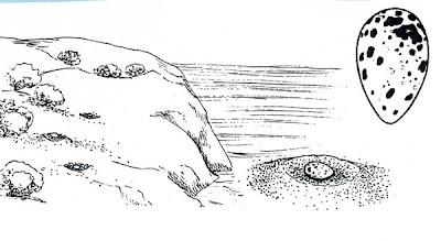 Gaviotín pico negro Thalasseus sandvicensis