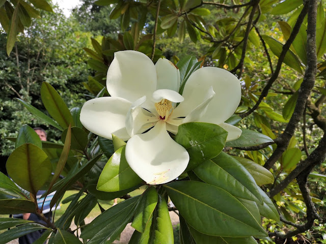Giant magnolia flower