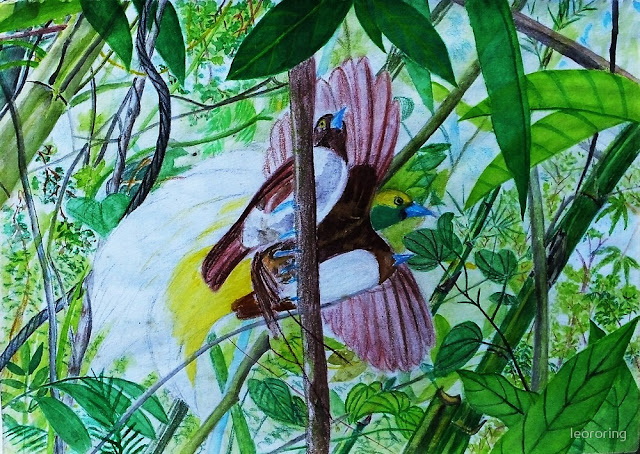 Drawing of Lesser Birds of Paradise by Charles Roring
