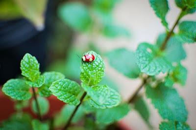 manfaat dan resiko daun mint untuk kesehatan