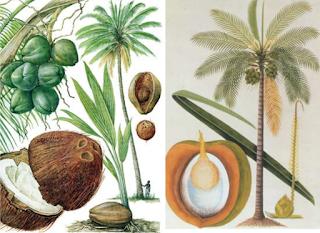 morfologi buah kelapa