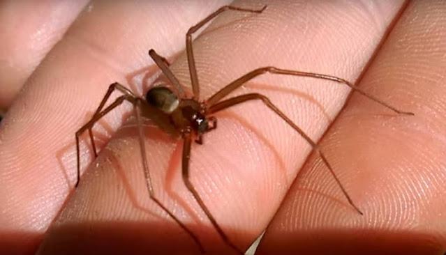 Cómo curar una mordedura de araña casera