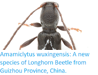 https://sciencythoughts.blogspot.com/2019/12/amamiclytus-wuxingensis-new-species-of.html