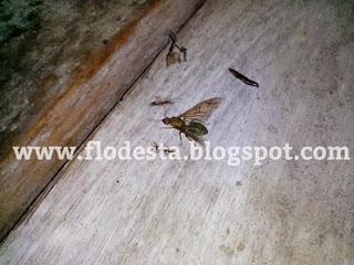 Apakah calon ratu semut rangrang terbang