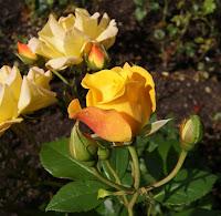 Roses molt oloroses per Teresa Grau Ros
