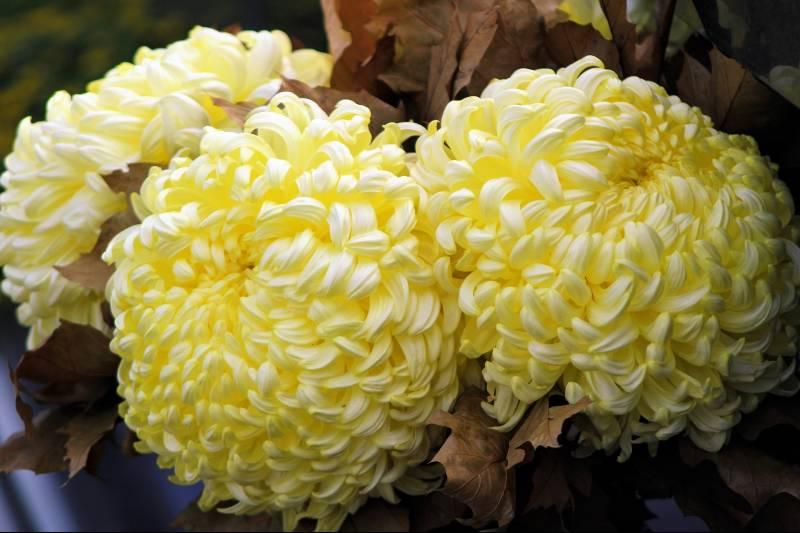 Crisantemo pompon