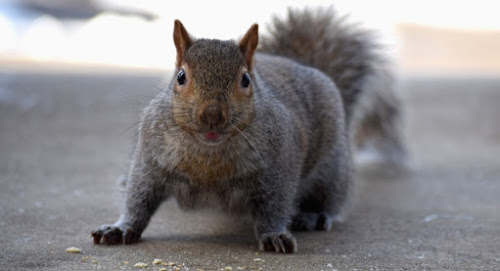 Eastern Gray Squirrels of Minnesota
