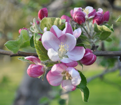 Apple blossoms in the sun