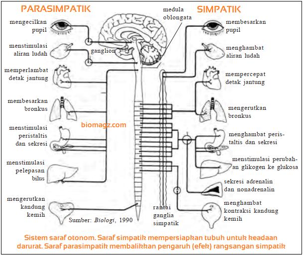 gambar dari saraf simpatik dan parasimpatik - Sistem Saraf Otonom