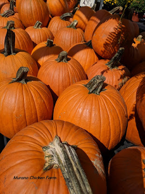 pumpkins for chicken feed