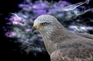 صقر الشاهين  Peregrine Falcon