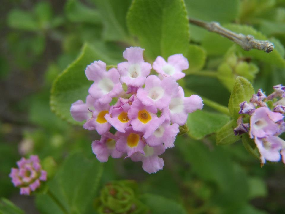 Field Guide Friday Big Sage Lantana Stacie Steensland