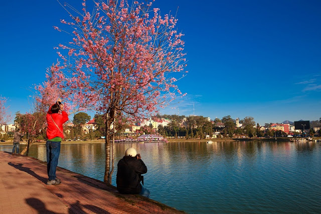 Da Lat cherry blossoms welcome Lunar New Year 4