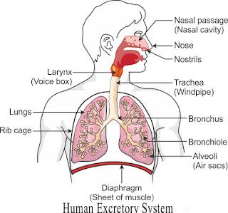 Human-Excretory-System, Online-Exam-study