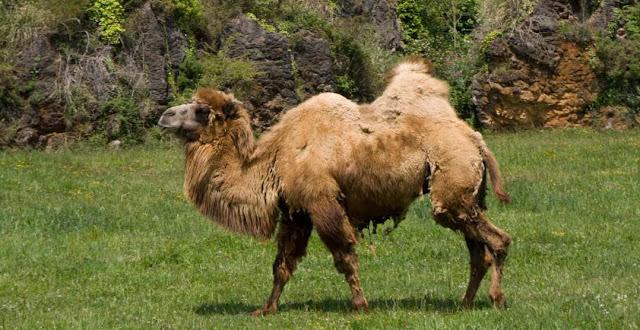 Camello bactriano y biologia