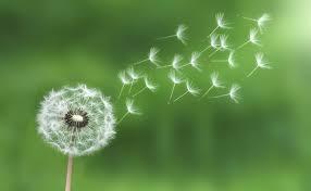 Nurfalah S Blog Dandelion Indah Cantik Dan Penuh Arti