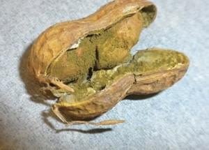 Kacang tanah yang terkena yellow mold