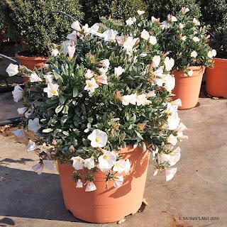 Convolvulus cneorum planta muy resistente de flor delicada ideal para el jardín