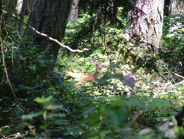 Jones Island Deer