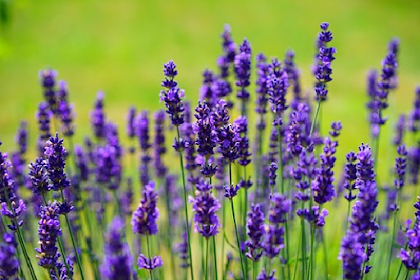 Essential Oils for Anxiety and Panic Attacks: Types, Utility, Recipe, and Risk