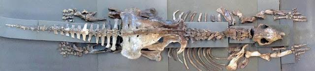 Ossada completa do Tatu Gigante de Iramaia (Foto: Divulgação/Foto Grupo de Paleontologia da UFSCar)