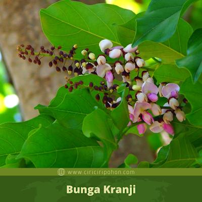 Bunga Kranji