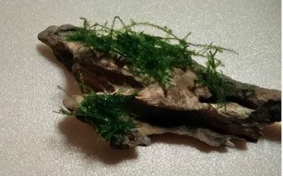 石に瞬間接着剤で活着するために接着されたウィローモス