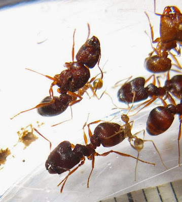 The minor and major workers with a gyne and brood of a rare trimorphic species of Pheidole ant