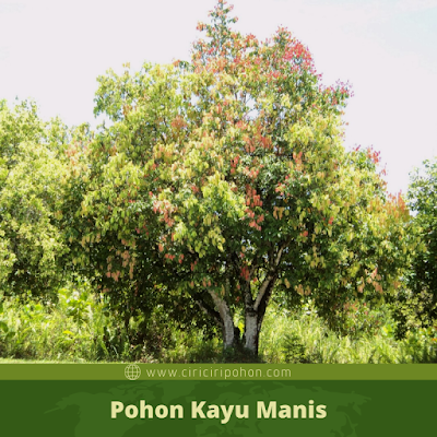 Ciri Ciri Pohon Kayu Manis