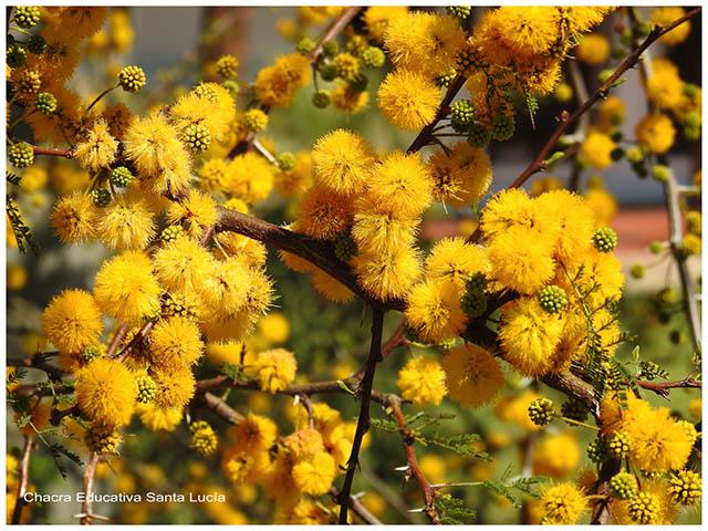 Flores de espinillo-Chacra Educativa Santa Lucía