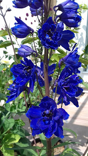 Faust,  Elatum Hybrid Delphinium bought as rooted cutting