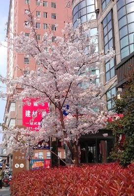 ビル街に咲いた桜