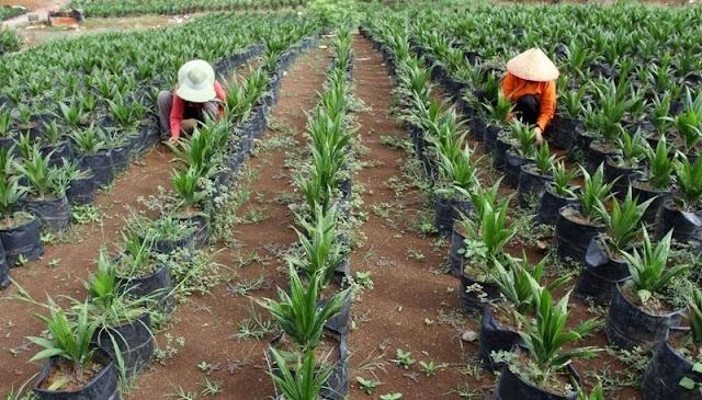2021, Kementan Targetkan Peremajaan Sawit 180.000  Hektare
