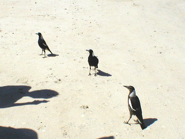 Australian Magpies, New South Wales, Australia. Photo by Loire Valley Time Travel.