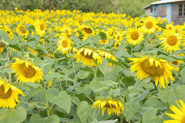 field, old home, sunflowers
