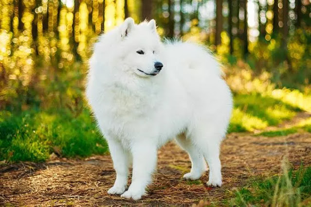 Most expensive dog - Samoyed