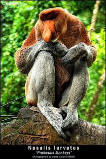 Gambar Bekantan  Dunia Binatang