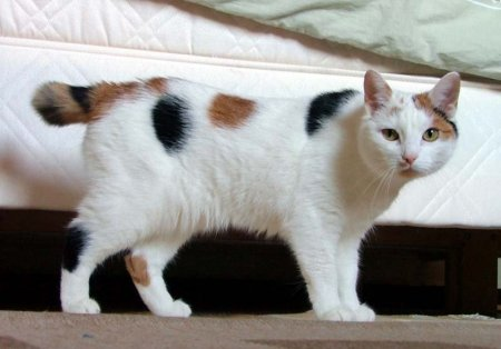 What Type Of Cat Is Found In The Isle Of Man 110