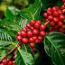 Morfologi dan Varietas Jenis Tanaman Kopi (Coffea canephora) Penghasil Minuman Berkafein Paling Diminati Masyarakat Dunia.