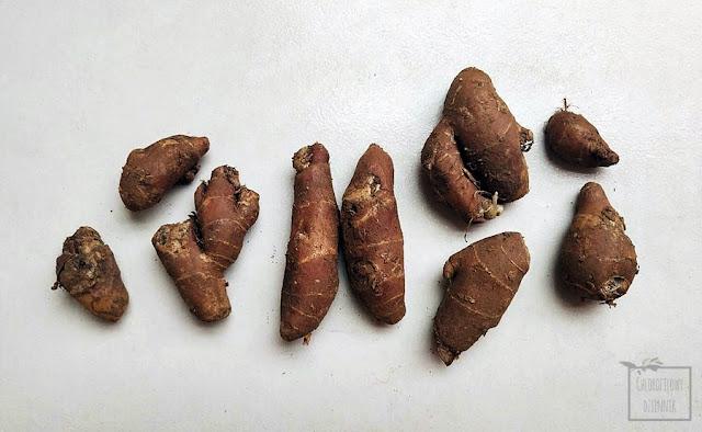 Kencur, imbir piaskowy, aromatyczny, azjatyckie przyprawy, indonezja, alpinia, galangal, kaempferia galanga,  jak smakuje i pachnie, zastosowanie opis
