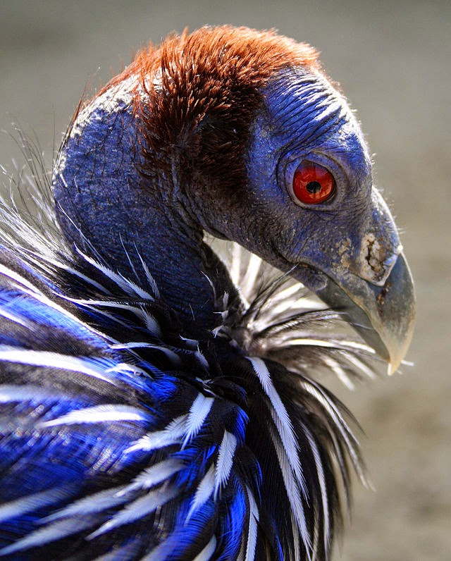 World Bird Sanctuary: Really Weird Birds: Vulturine Guineafowl