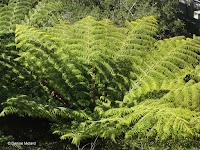 Fern fronds - Wellington Botanic Garden, New Zealand