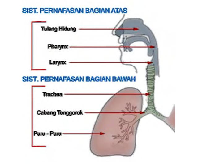 Sistem Pernafasan Pada Manusia: Jenis Organ dan Mekanismenya