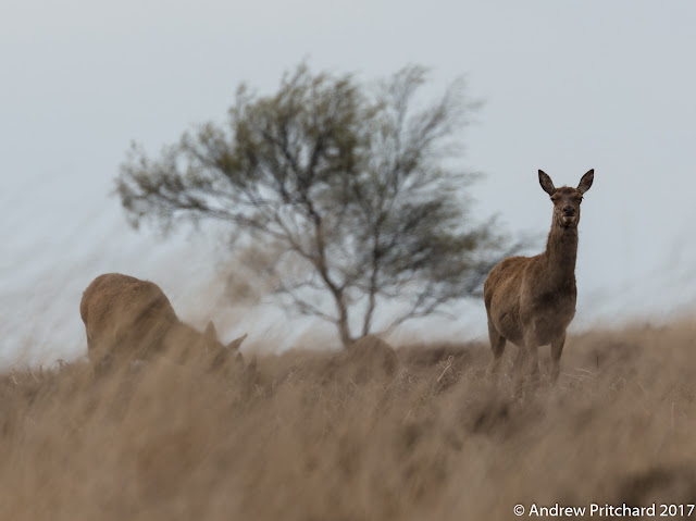 A hind seems to squint through the tall grass to see something nearby.