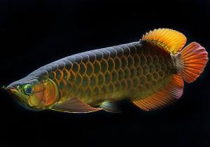 Ikan hias air tawar,Ikan Arwana