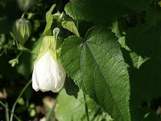 Abutilon × hybridum 'Boule de Neige'