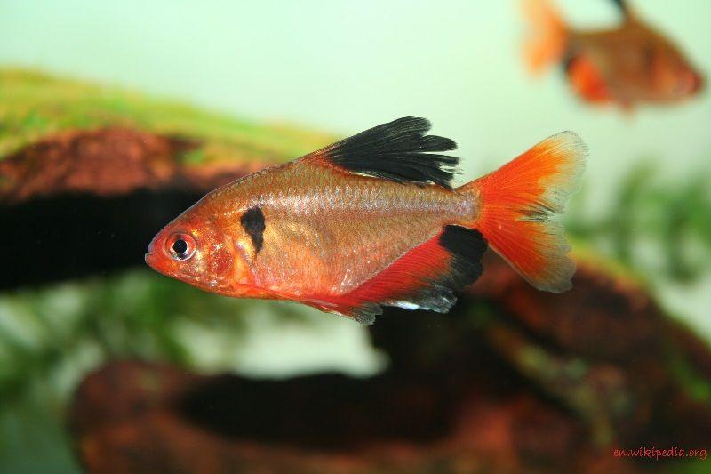 Ikan Aquascape yang Kuat - serpae Tetra