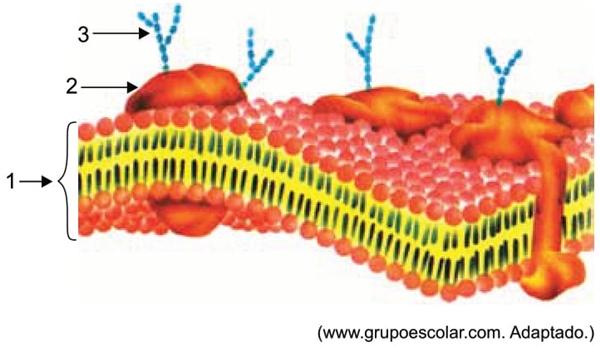 A figura ilustra a organização molecular de uma membrana plasmática